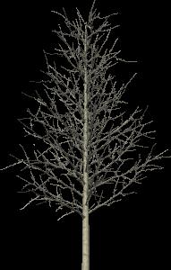 TREE. yellow poplar