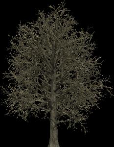 TREE. red oak (old)